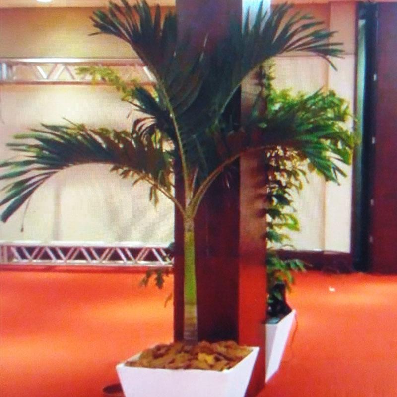 Palmeira Veitchia de 2 a 2,50 de altura com cachepot de madeira ... outros cachepots disponíveis