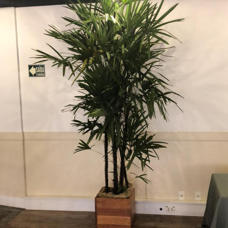 Palmeira Ráphis com 2 a 2,50 m com acabamento rústico
