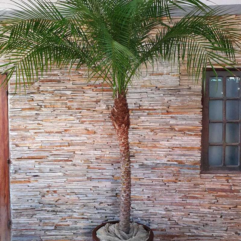 Palmeira Phonix de 2 a 250 e de 3 a 350 de altura com cachepot Imbuia outros acabamentos disponveis