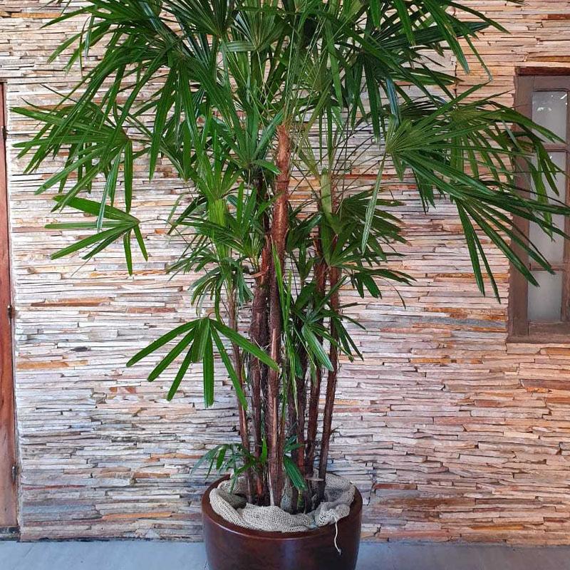 Palmeira Rsphis 2 a 250 m com cachepot embuia outros acabamentos disponveis